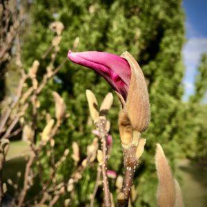 Magnolia-knopp