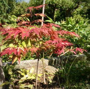 Acer Palmatum Tsuma-Gaki japansk viftelønn