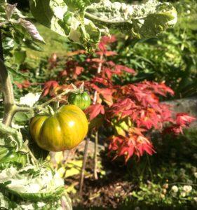 Dean Brad Gate's Dwarf tomat foran Tsuma-Gaki japanlønn