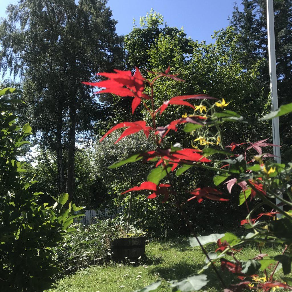Accer palmatum Atropurpureum